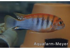 Labidochromis spec hongi super red top