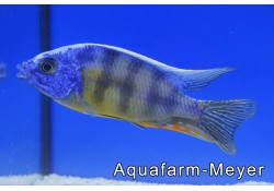 Protomelas Fenestratus Taiwan Reef