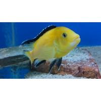 Labidochromis Yellow
